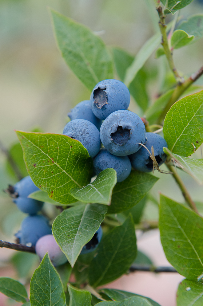 Blueberries-on-the-bush