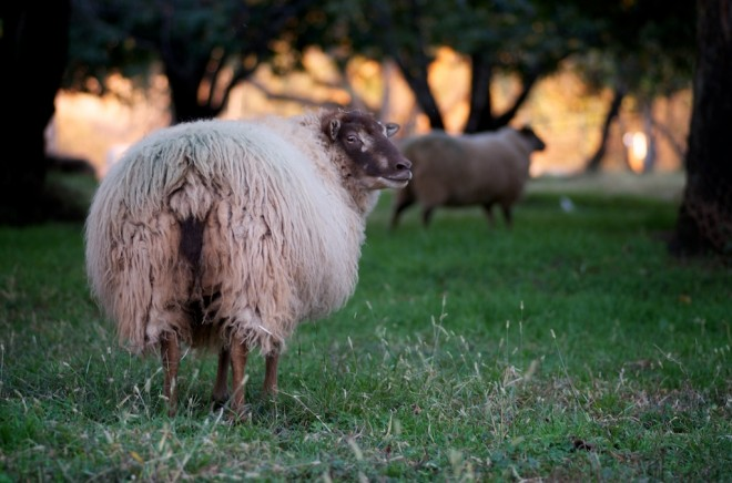 wool sheep at chaffin