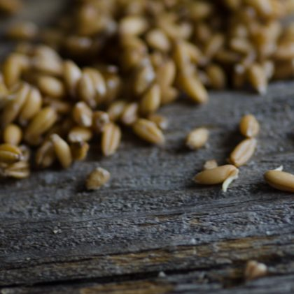 How to Sprout Grains (and make sprouted grain flour)