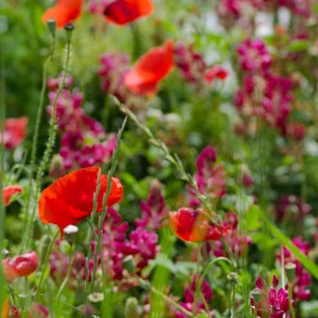 wild poppies
