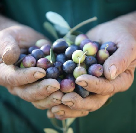 How Small Farms are Saving Olive Oil