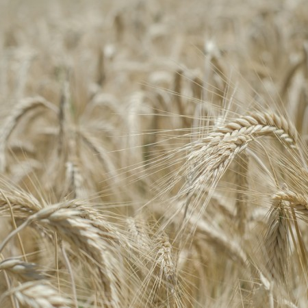 Good Questions: Einkorn, Spelt, Emmer, Farro and Heirloom Wheat