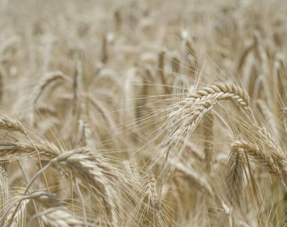 Einkorn, Spelt, Wheat, Ancient Grains
