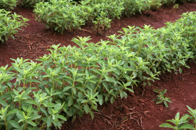 What's Your Take on Stevia?