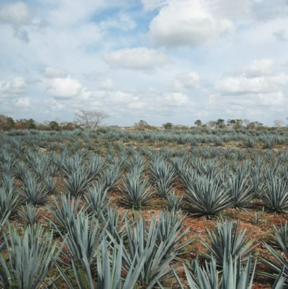 Good Questions: What's Your Take on Agave Nectar?