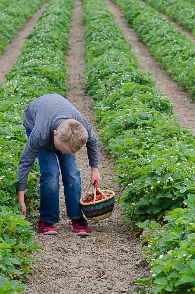 Picklign Strawberries U-Pick Berry Farm for Yogurt Panna Cotta with Roasted Berries