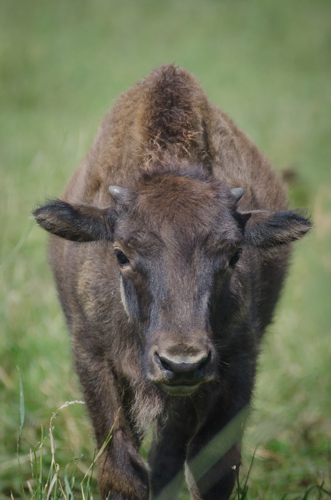 American Bison Calf: holistically managed, grass-fed bison.  #nourishedkitchen