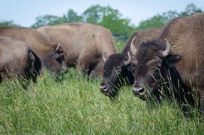 Bison East Field Cows Closeup landscape