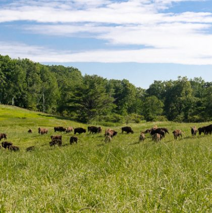 My Visit to an American Bison Ranch: Hope, History, Stewardship and Renewal