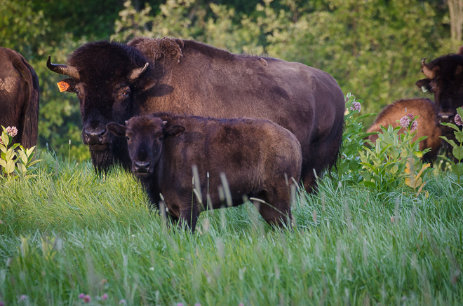 American Bison Cow and Calf: holistically managed, grass-fed bison. #nourishedkitchen