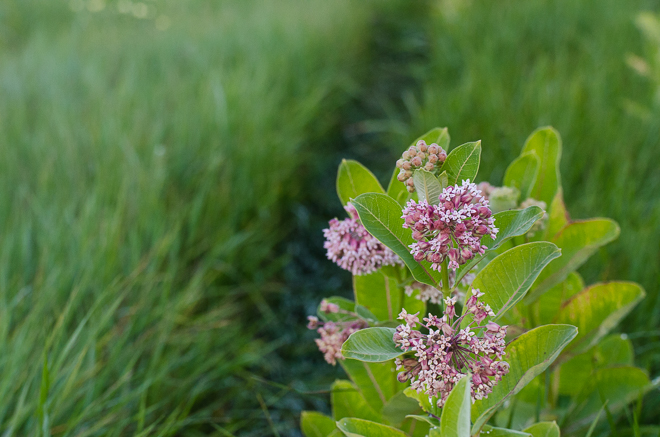 Milkweed at NorthStar Bison, a holistically managed, grass-fed bison ranch. #nourishedkitchen