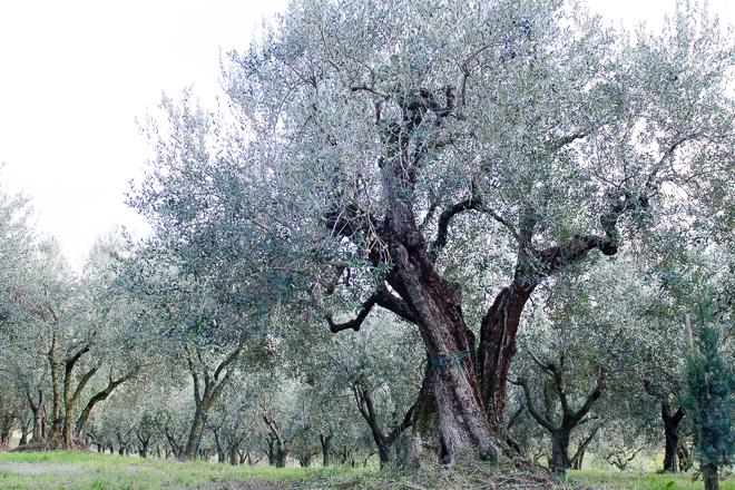 jovial olive oil-8