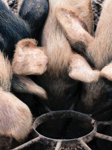 pasture-raised pigs at rigney's farm in ireland
