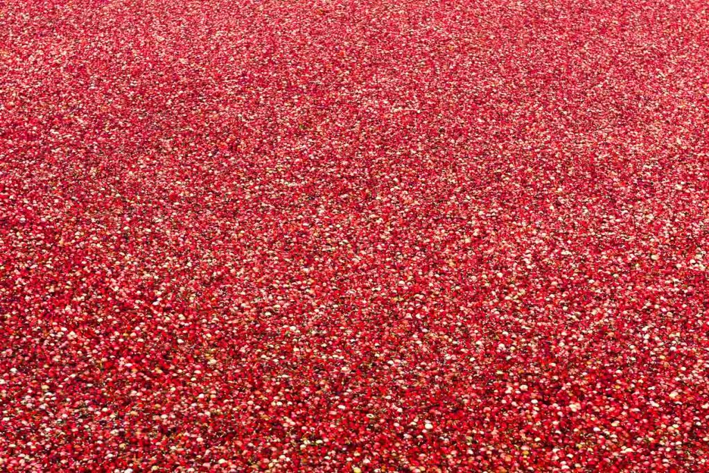 Huge amounts of cranberries are harvested as far as the eye can see in New England's cranberry bogs.