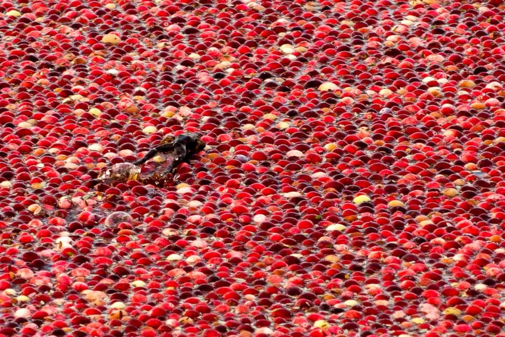 With practices like integrated pest management, mindful use of water, and bee-friendly inputs, cranberry farming can be sustainable and bogs become remarkably biodiverse.