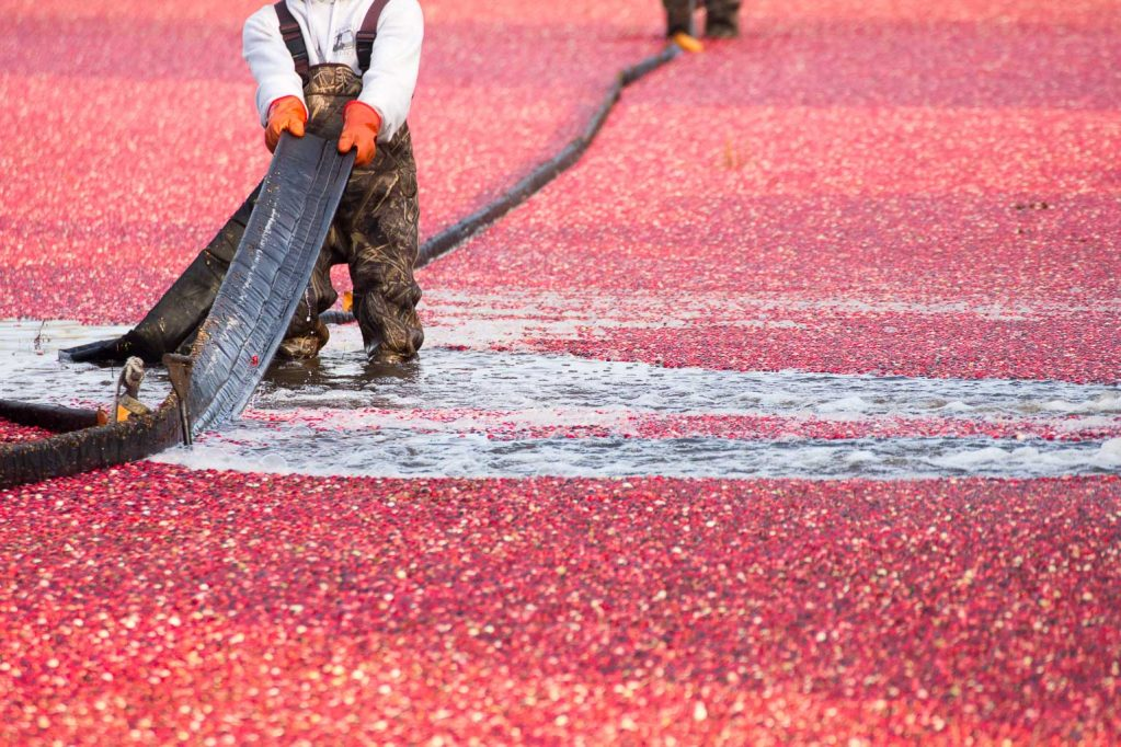 Workers harvest fresh cranberries in bogs in Massachusets.
