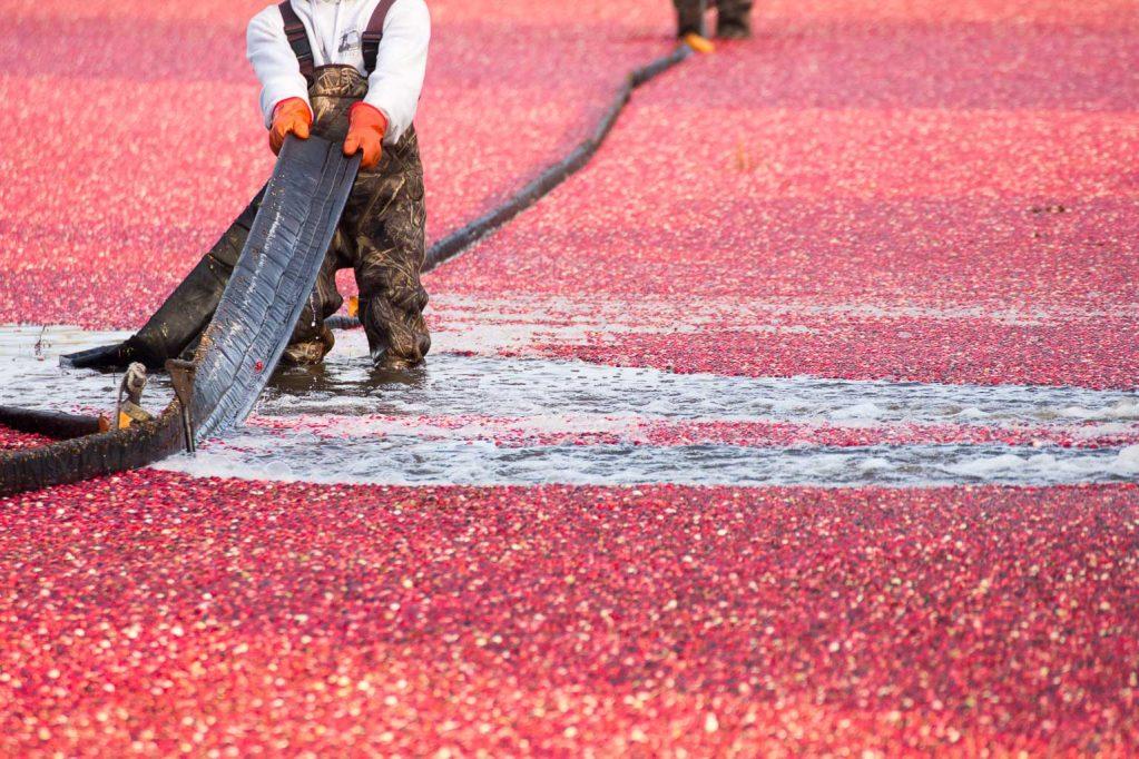 Workers harvest fresh cranberries in bogs in Massachusets.